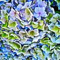 Hanson Hydrangea by Gwyn Newcombe