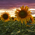 Happiness Is A Field Of Sunflowers by Debra and Dave Vanderlaan