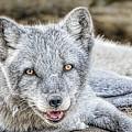 Happy Arctic Fox by LeeAnn McLaneGoetz McLaneGoetzStudioLLCcom