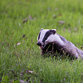 Happy Badger In The Green Grass by Torbjorn Swenelius