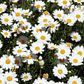 Happy Daisies- Photography By Linda Woods by Linda Woods