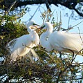 Happy Egret Mates by Richard Bryce and Family