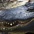 Happy Florida Gator by Roger Wedegis