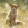 Happy Fox Is Happy by Roeselien Raimond