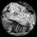 Happy Gator Black And White by Carol Groenen