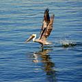Happy Landing Pelican by Susanne Van Hulst