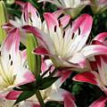Happy Lilies by Smilin Eyes  Treasures