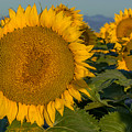 Happy Sunflowers by Vicki Stansbury