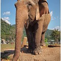Happy Thai Elephant In Chiang Mai by River Engel