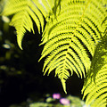 Hapuu Ferns by Ron Dahlquist - Printscapes