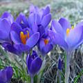 Harbinger Of Spring by Barbara McDevitt