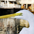 Harbor Egret by David Lee Thompson