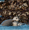 Harbor Seal And Pup by Robert Potts