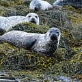 Harbor Seal Colony At Loch Dunvegan by DejaVu Designs