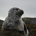 Harbor Seal In Stormy Weather by DejaVu Designs