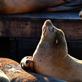 Harbor Seal In The Sun by James Kirkikis