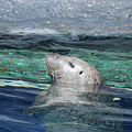 Harbor Seal Poking His Head Out Of The Water by DejaVu Designs