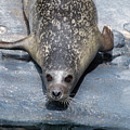 Harbor Seal Ready To Plunge Into The Water by DejaVu Designs