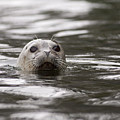 Harbor Seal by Tim Grams