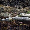 Harbor Seals Basking - Oregon Coast by Randall Ingalls