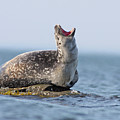 Harbour Seal by Mircea Costina Photography