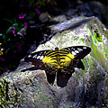 Hard Landing--clipper Butterfly by Bob Johnson