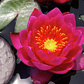 Hardy  Day Water Lily by Rich Walter