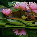 Hardy Pink Water Lilies by Byron Varvarigos