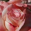 Harlekin Rose by Teresa Stallings