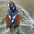 Harlequin Duck by Bill Dodsworth