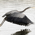 Heron On The Fly - Painting by Sue Harper