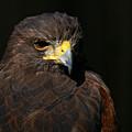 Harris Hawk - Aloof by Sue Harper