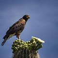 Harris Hawk Atop A Saguaro  by Saija Lehtonen