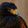 Harris Hawk Closeup by Sue Harper