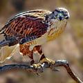 Harris Hawk by John Beamer