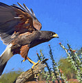 Harris Hawk by Nikolyn McDonald