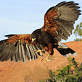 Harris Hawk On The Wing by Dennis Hammer