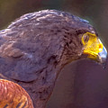 Harris Hawk Painting by Dr Bob and Nadine Johnston