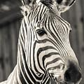 Hartmann's Mountain Zebra 2 by Marcin Rogozinski