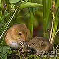 Harvest Mice Eating Grasshopper by Jean-Louis Klein & Marie-Luce Hubert
