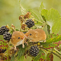 Harvest Mice On Blackberry by Jenny Hibbert
