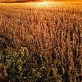 Harvest Twilight by Paul Kercher