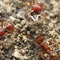 Harvester Ants 3 by Rebecca Shupp