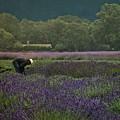 Harvesting The Lavender, Long Island by Cheryl Kurman