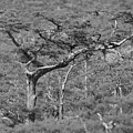 Hatrack Cypress by Paul Rebmann