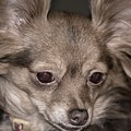 Hattie--foxy Chihuahua by Sherman Perry