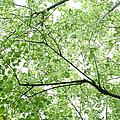 Hau Tree Canopy by Charmian Vistaunet