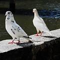 Hawaii Birds 9 by Ron Kandt