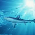 Hawaii Galapagos Shark by Ed Robinson - Printscapes