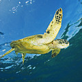 Hawaii, Green Sea Turtle by Ron Dahlquist - Printscapes